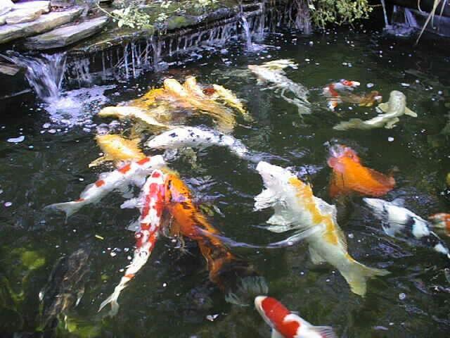 Ikan Koi Blitar Dalam Perayaan Kemerdekaan