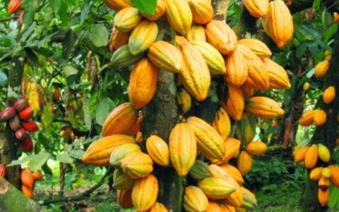 pohon kakao sang penghasil coklat