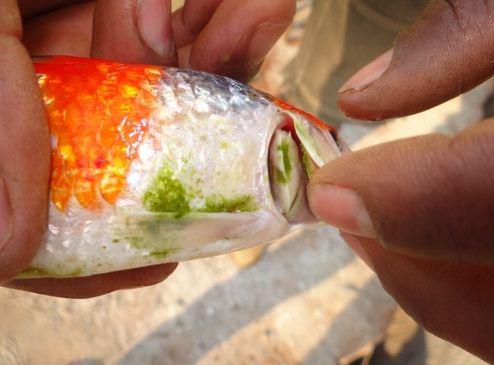 Pencegahan Busuk Insang Terhadap Ikan Koi