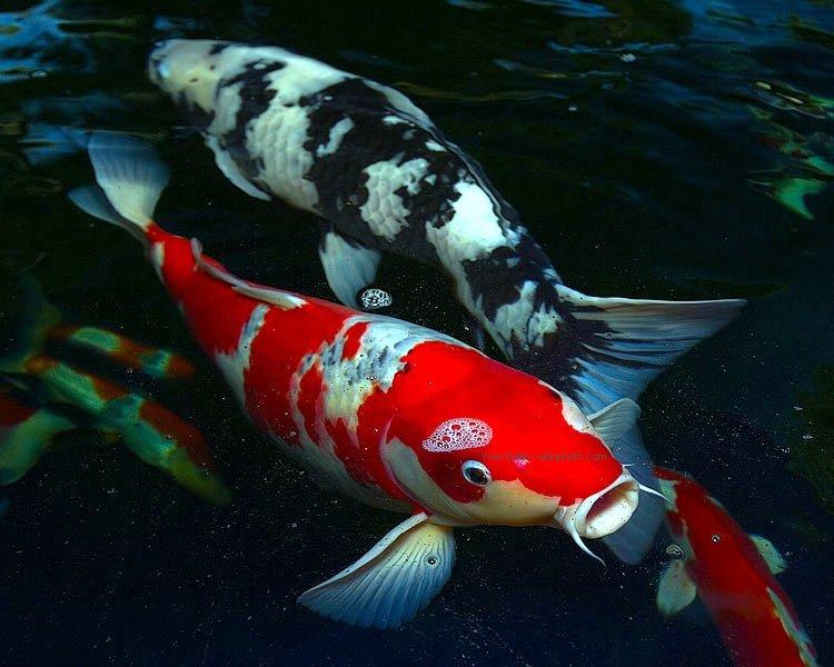 Tips Mengatasi Busuk Insang Pada Ikan Koi