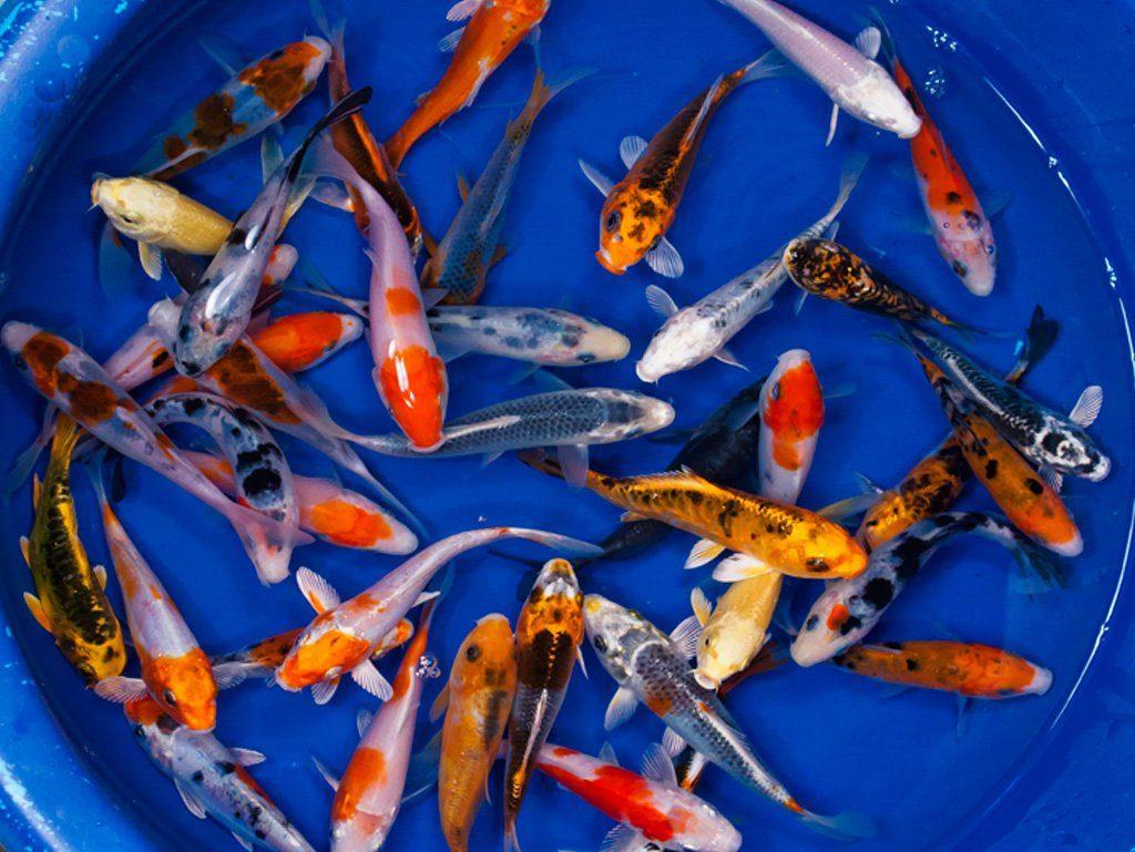 Jual Ikan Kediri Kualitas Import