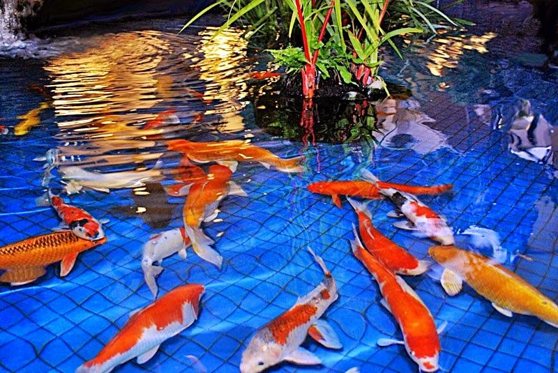 Grosir Bibit Ikan Koi Lengkap Dan Terjangkau